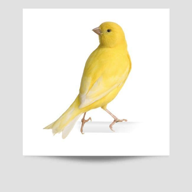 Budgie Poster