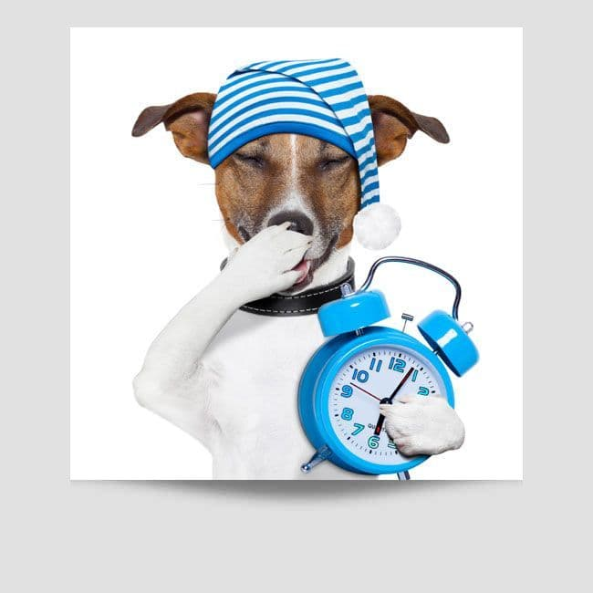 Jack Russell Holding a Clock Poster